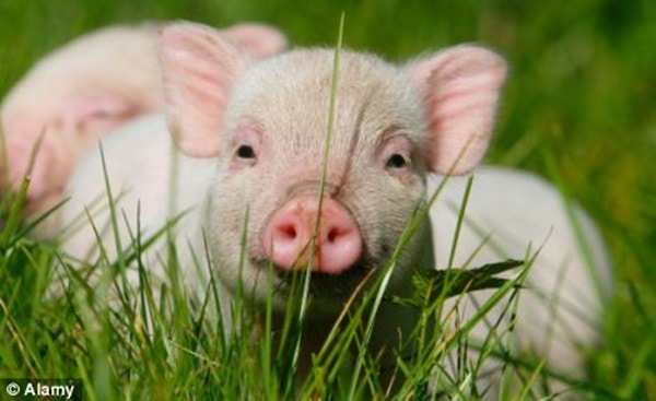 40-heart-melting-pig-pictures-that-can-make-your-day-27