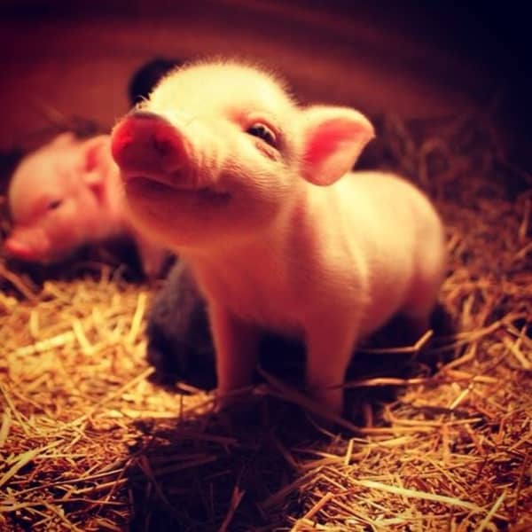 40-heart-melting-pig-pictures-that-can-make-your-day-29
