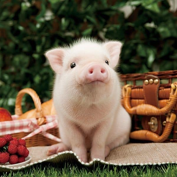40-heart-melting-pig-pictures-that-can-make-your-day-4