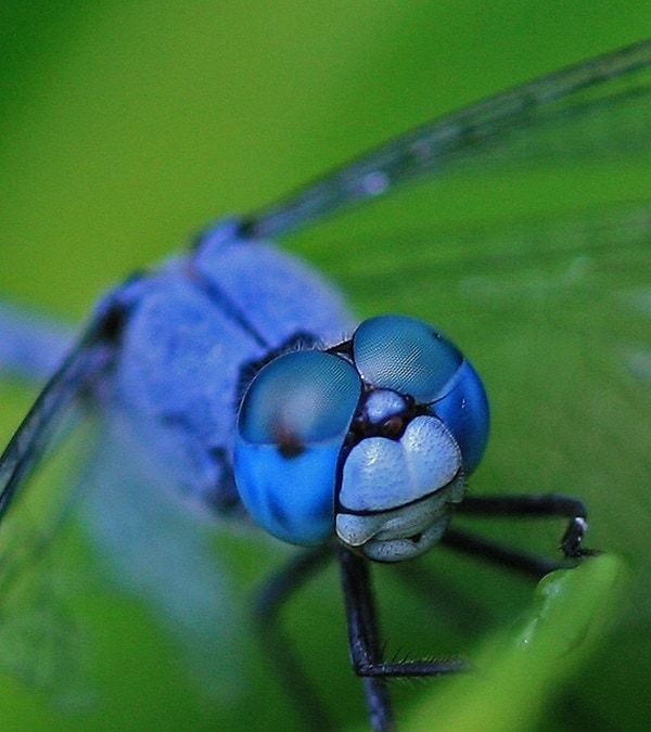 40-naturally-ocurring-blue-colored-animals-11