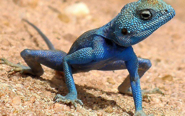 40-naturally-ocurring-blue-colored-animals-18
