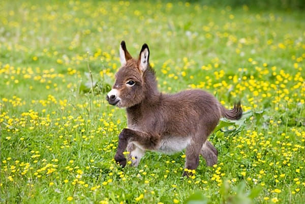 15-surprising-miniature-donkey-facts-2