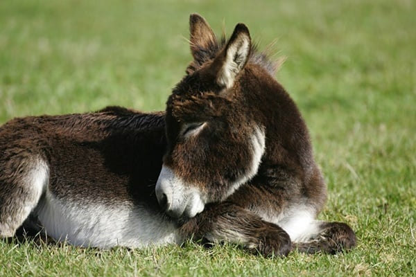 15-surprising-miniature-donkey-facts-5