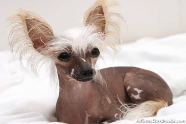 20 The Most Expensive Dog Breeds in The World  |Worlds Most Expensive Cane