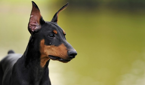 Dog Breeds Most Prone To Cancer