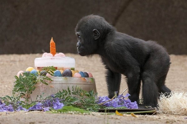 pictures of zookeepers celebrating birthdays of zoo animals 8