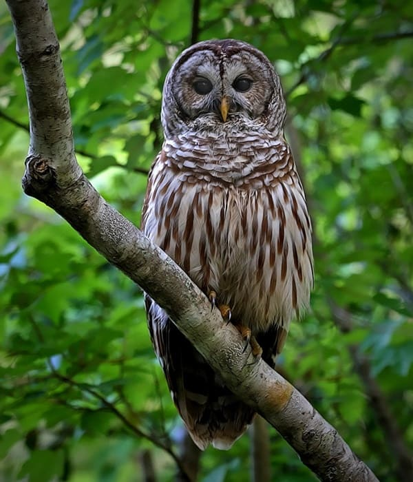15 Popular Owl Species (Learn to Identify Individually)