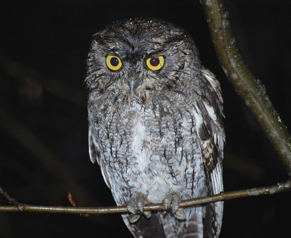15 Popular Owl Species Learn To Identify Individually