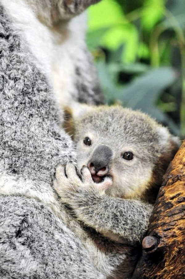 koala baby animals zoo born koalas joey adorable babies carolina south pouch care riverbanks animal mother zooborns were bears park