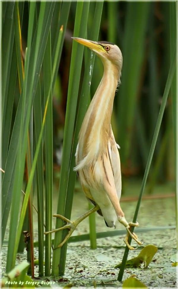 Pictures of Bittern Birds