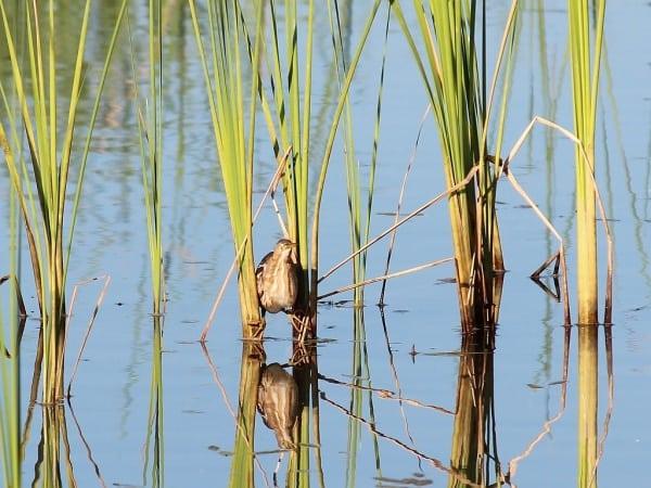 Pictures of Bittern BirdsPictures of Bittern Birds