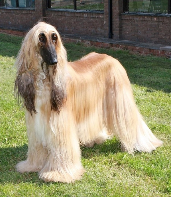 Afghan Hound Dog Breed List