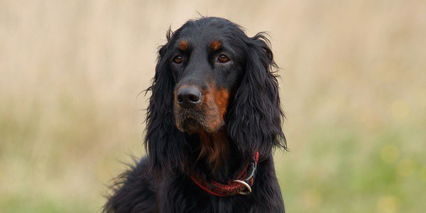 Breeds of Dogs with Floppy Ears