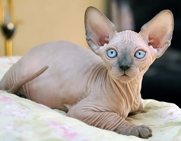 Where Can I Buy A Sphynx Cat