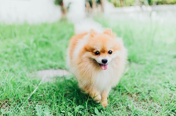 pomeranian life span 10 dog breeds with longest lifespan 8281