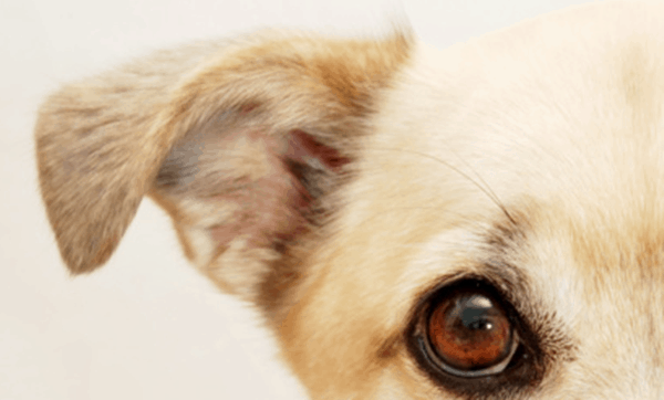 Dog Ears Flat Against Head