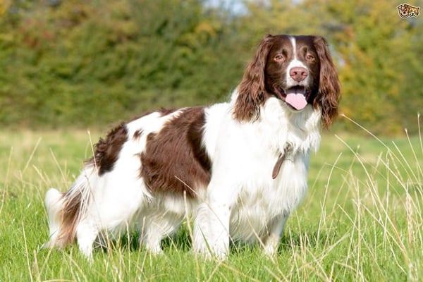 Famous Medium Sized Dog Breeds