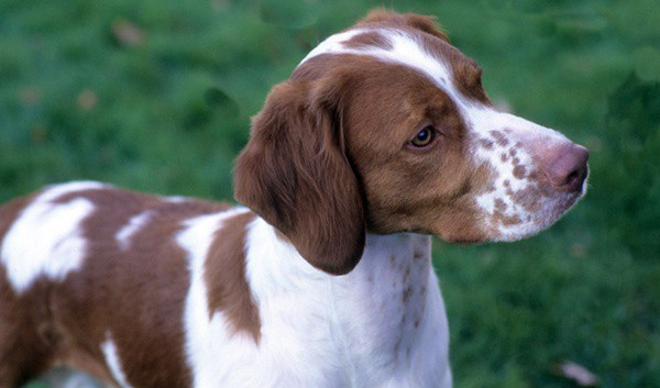 10 Famous Medium Sized Dog Breeds