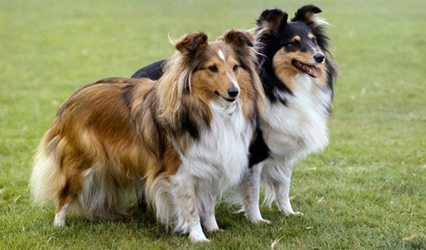 Famous Medium Sized Dog Breeds