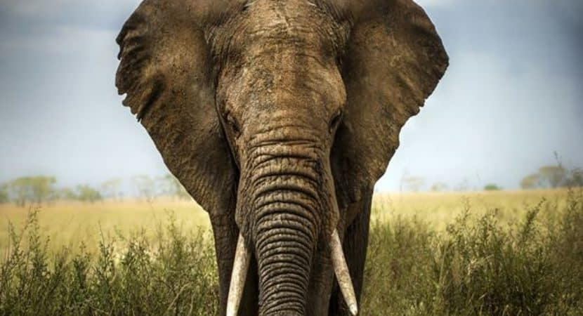6 Different Species Of Elephants Still Exist