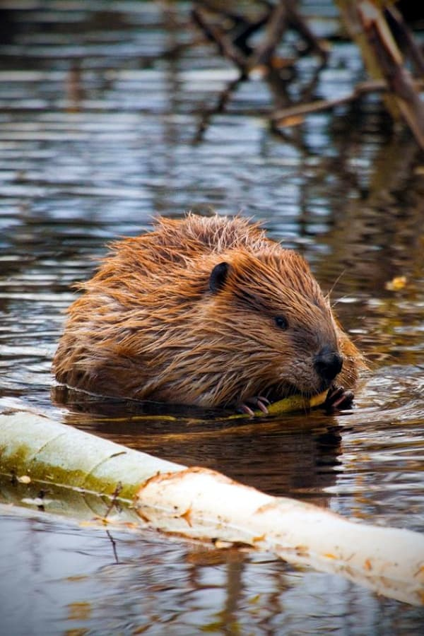 40 Cute And Different Just In Beaver Pictures