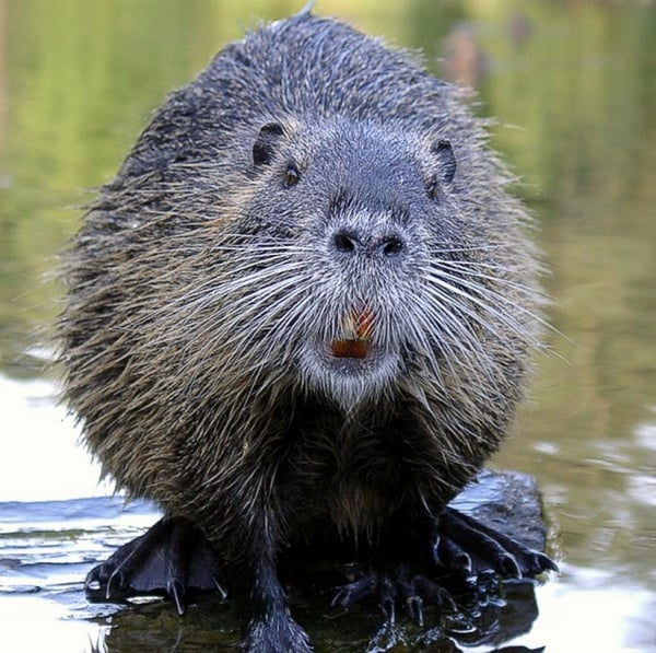 Bushy beaver pics