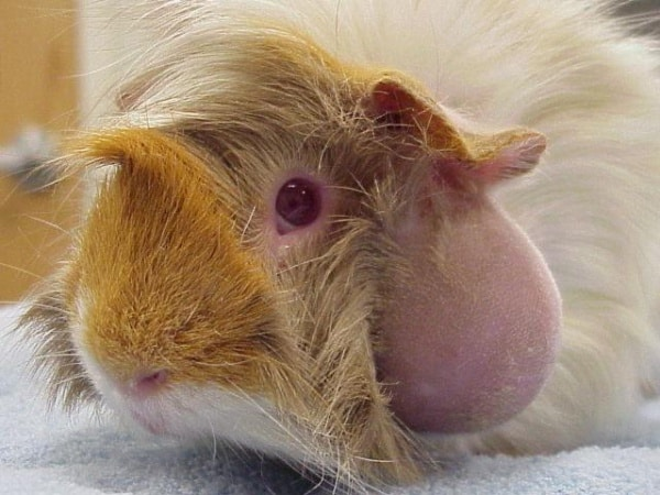 Causes-of-Sudden-Death-in-Guinea-Pigs