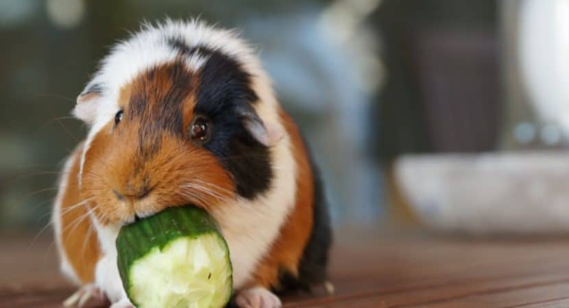 Causes of Sudden Death in Guinea Pigs