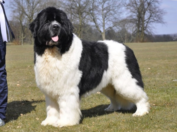 Popular-Dog-Breeds-with-Big-Paws