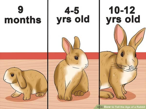 Dwarf-Rabbits-and-Teacup-Bunnies-Healthy-Caring-Tips