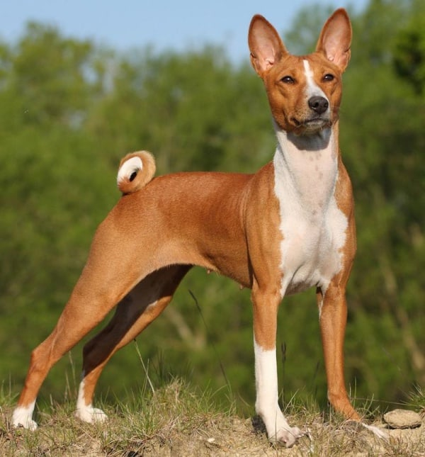 Dog Breeds With Curly Tails