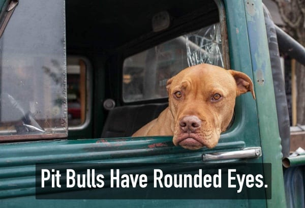 Interesting Facts about Pit Bull Dogs and Breed Information With Pictures