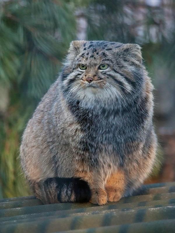 Pallas Cat For Sale