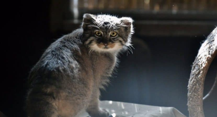 Interesting facts and information of pallas cat explained with 35 interesting facts and information of pallas cat explained with 35 pictures publicscrutiny Images