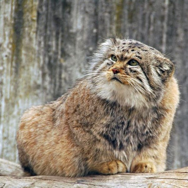 Interesting Facts and Information of Pallas Cats