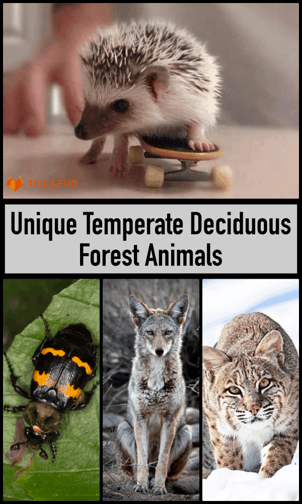 Temperate Deciduous Forest Animals