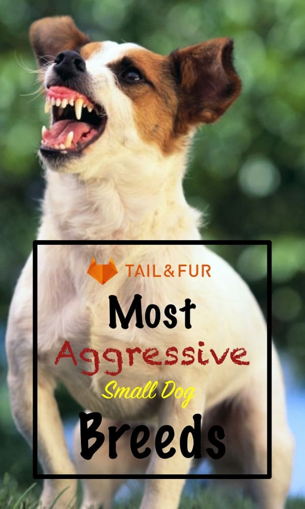 Aggressive Small Dog Breeds