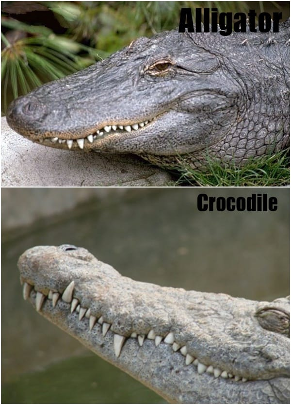 Difference Between Crocodiles And Alligators