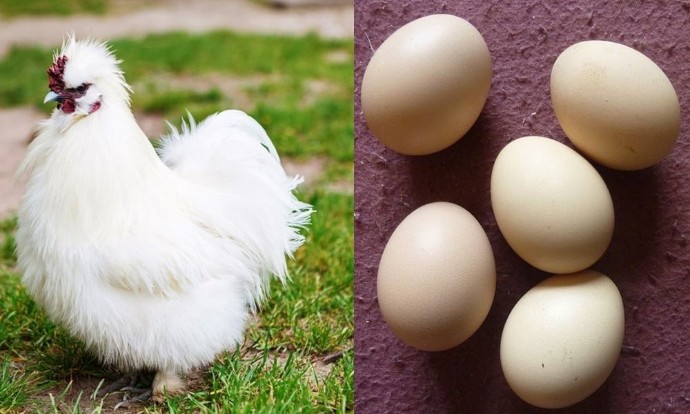 10 Chickens Species With The Different Color Of Eggs