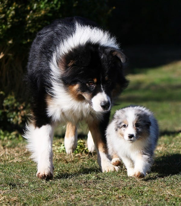 Cute Pictures Of Dogs With Their Miniature Puppy