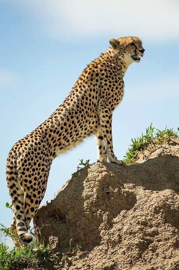 Facts about Cheetah
