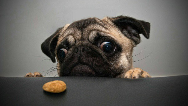 Pug Dog Information with Puppies Pictures Common Health Problems Treatment