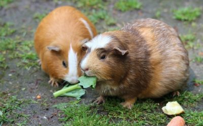 Toys That Your Guinea Pig Will Love - A Buying Guide
