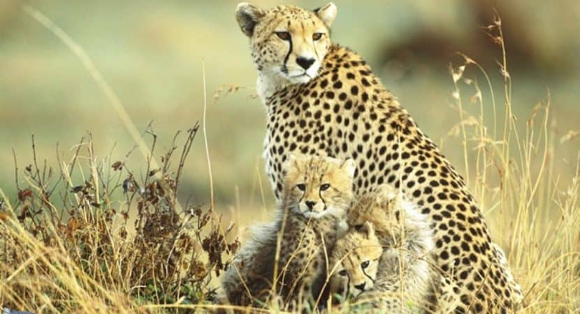 5 Amazing Facts about Cheetah You Probably Don't Know