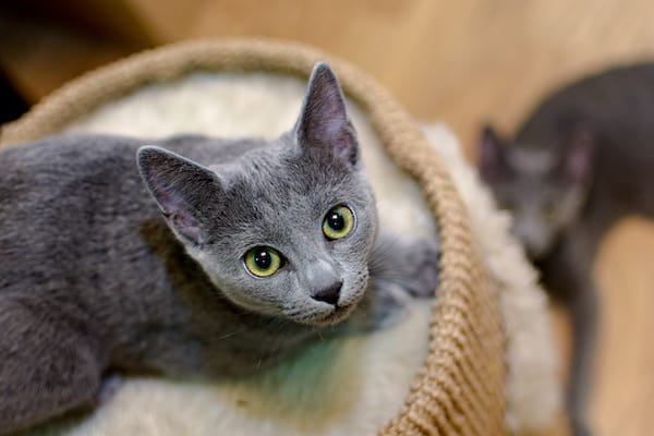 the russian blue