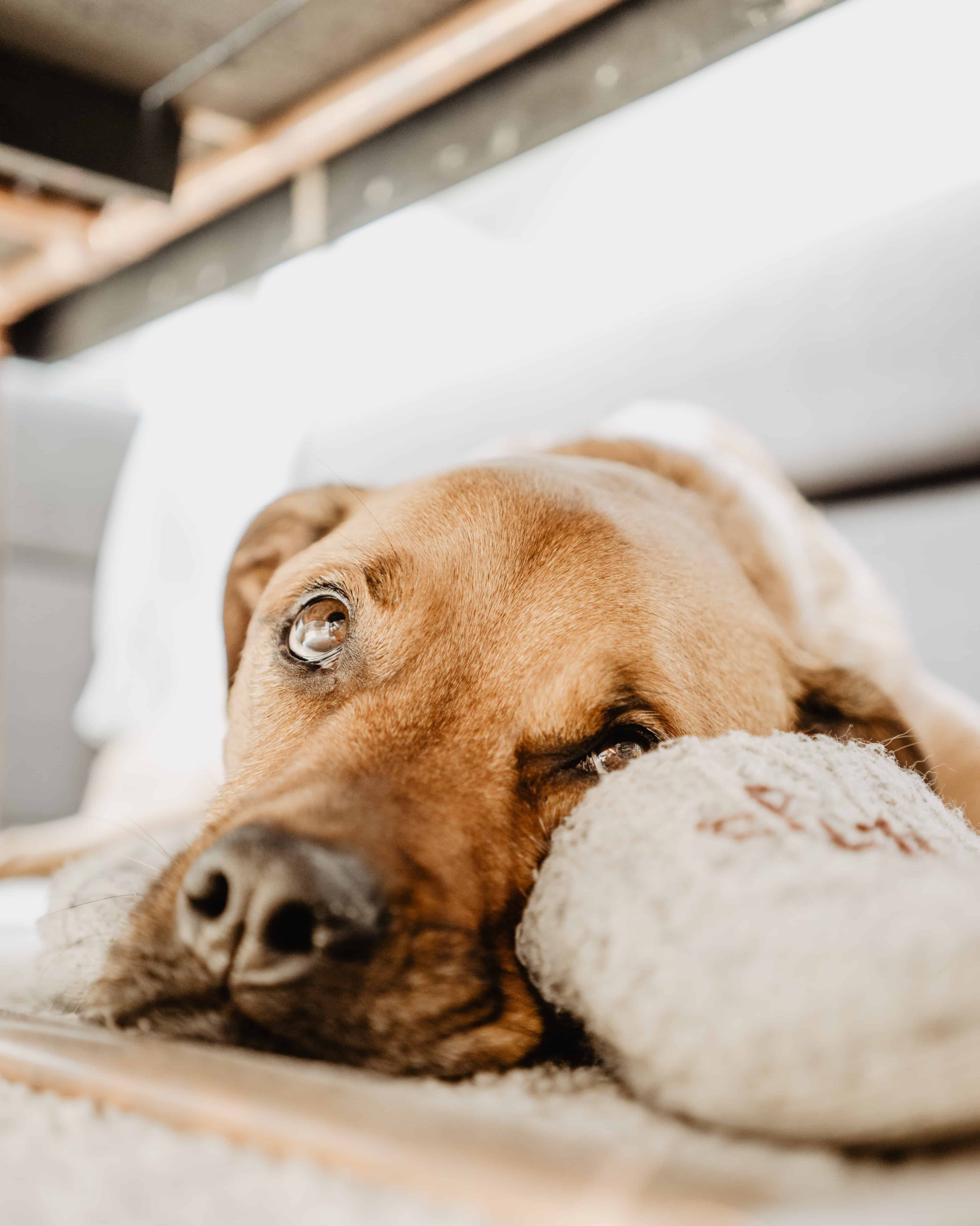 How To Clean Dog Vomit From Carpet The Unbeatable Diy