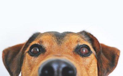 dog CCL Injury