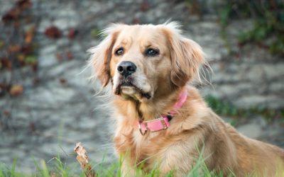 wireless dog collar