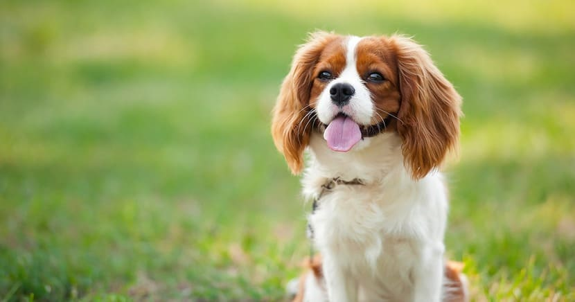 Cavalier King Charles Spaniel, Small Dogs for Kids